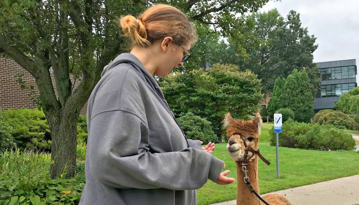 """QCC student Nichole Halbert gets to know """"Star,'' a 2 and a half year old alpaca."""