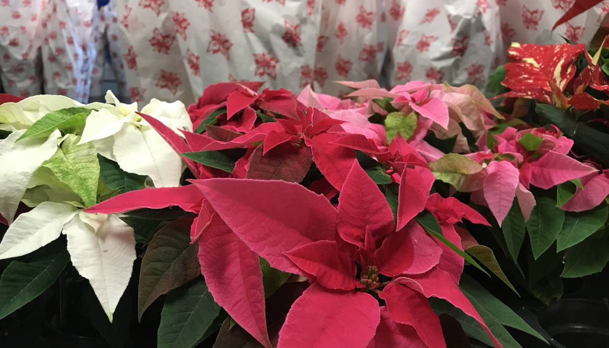 PTK is selling poinsettas to benefit the new Live and Learn Greenhouse.