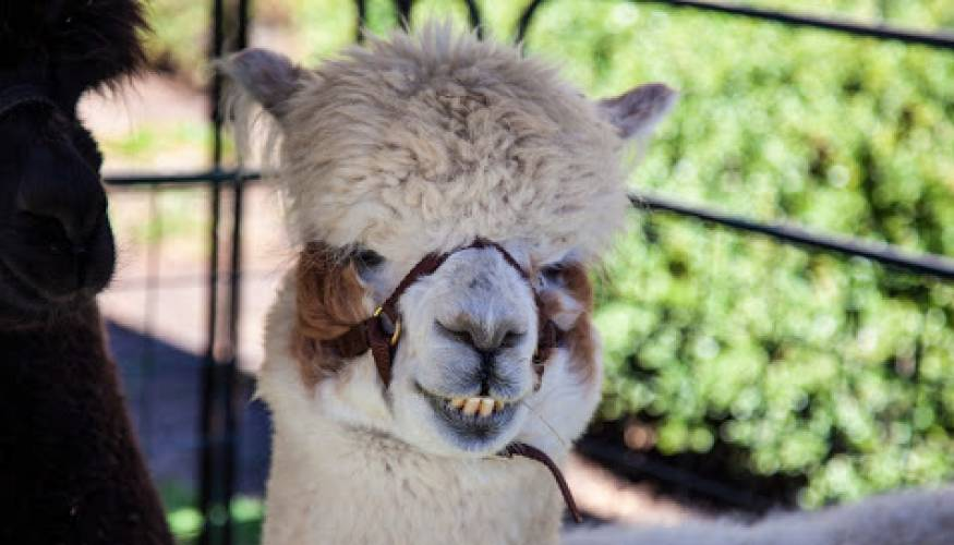 """Dave"" the alpaca gives a big smile to all who came to QCC's Diversity Day."