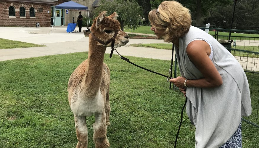 "Cheryl Pike, of QCC's Student Life helps with ""Star"" during a visit to campus by Angel Hair Alpacas of Grafton."