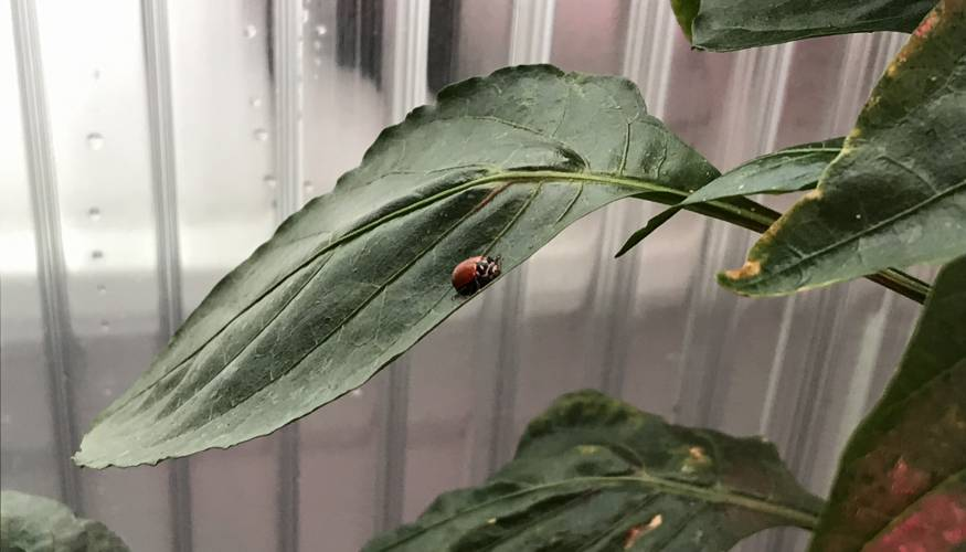 Lady bugs are one of the natural ways the greenhouse volunteers control pests.