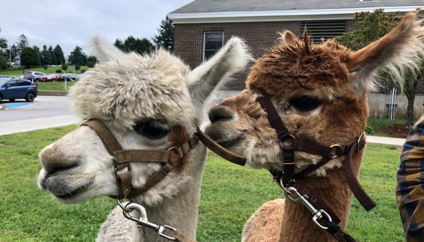 """From left: """"Millie"""" and """"Star' of Angel Hair Alpacas, visit QCC."""
