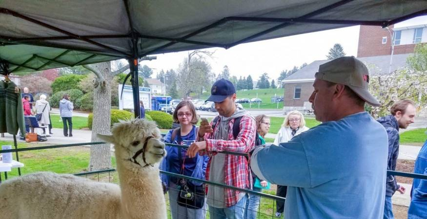 students pet llamas on campus